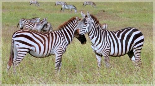 zebras - serengetti