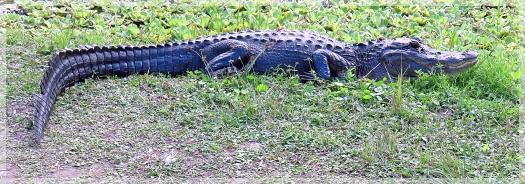alligator - CREW