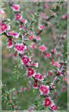 Russian thistle - tumbleweed