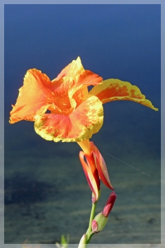 canna - bandana of the everglades