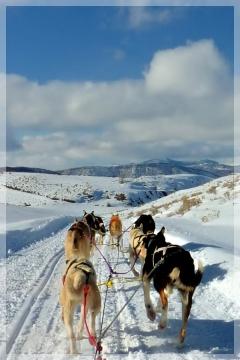 sled dogs mushing