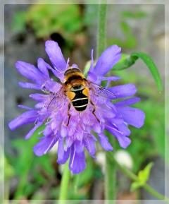 field scabious - bee