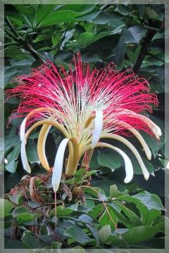 money tree - pachira acquatica