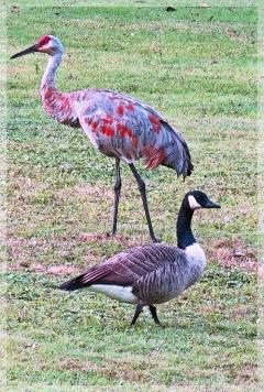 sandhill crane - canadian goose